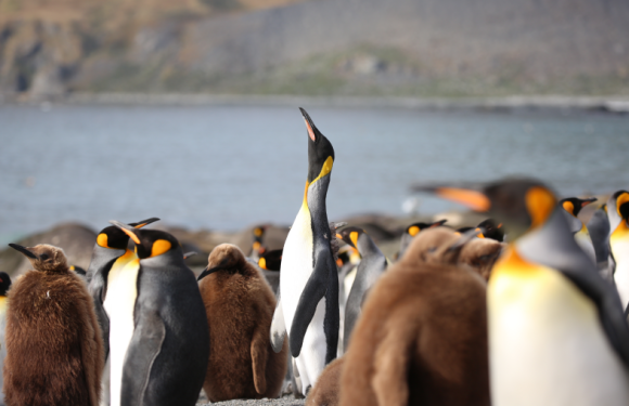 """2020年""""一号邮轮""""大南极三岛王企鹅深度探索(26天)"""